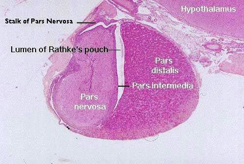 Pituitary Gland Histology Human Anatomy And Physiology