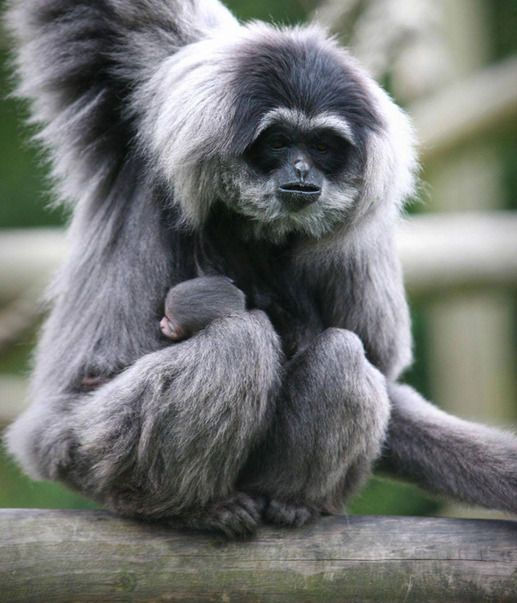 Belfast Zoo of Moloch gibbon - Haja, a rare baby gibbon born less than a month ago at Belfast Zoo