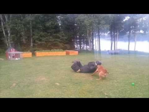Bite Suit Running Attacks With Belgian Malinois Nitro Belgian Malinois Malinois Dog Training Videos