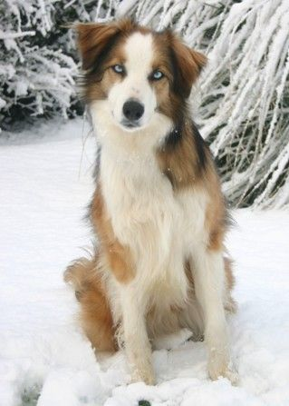 Ffion - the female welsh sheepdog