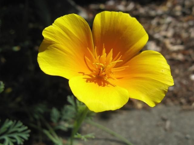 States Flowers Of United California Golden Poppy Www Facebook