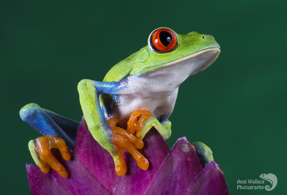 Red eyed tree frog / 500px in 2020 Red eyed tree frog