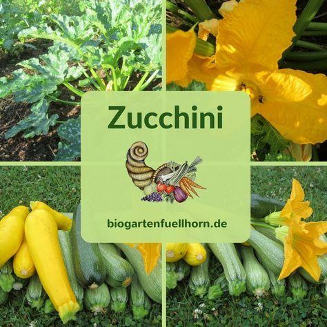 Erfolgreich Zucchini anbauen | Biogarten Füllhorn