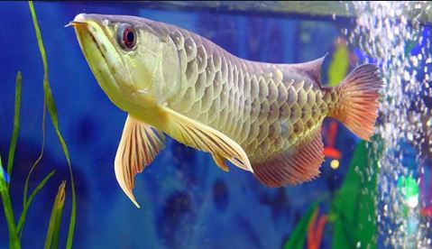 Smart Safe Zone Makanan Alami Ikan Arwana Di 2020 Ikan Ikan Air Tawar Alam