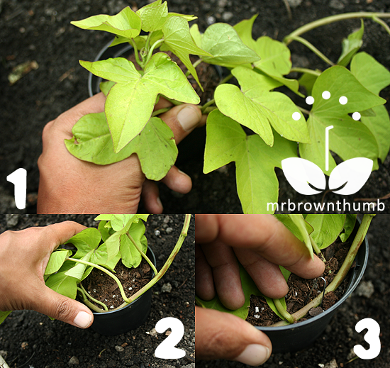 how to take rose cuttings in potatoes
