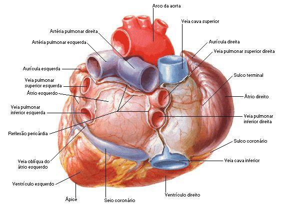 Aula de Anatomia | Coração grandes vasos cardíacos | Anatomia ...