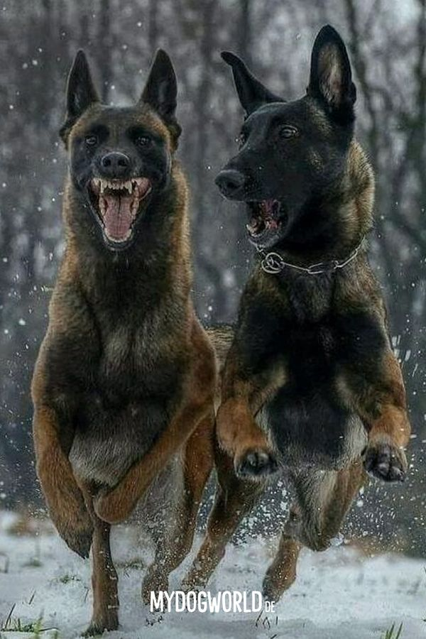 Malinois Training Belgian Malinois Belgischer Schaferhund