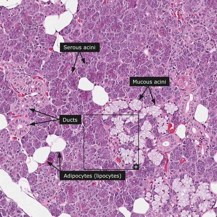 parotid gland histology salivary gland the major