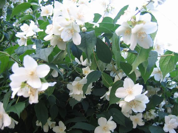 Pin By Debbie Dean On Products Flower Seeds Mock Orange Mock