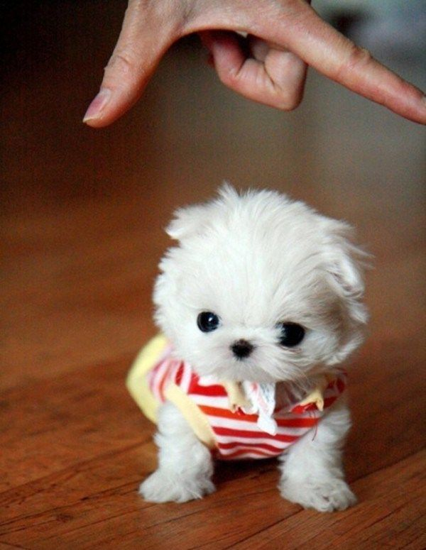 27 Teeny Tiny Puppies Who Will Make You Wriggle With Cuteness #cuteteacuppuppies