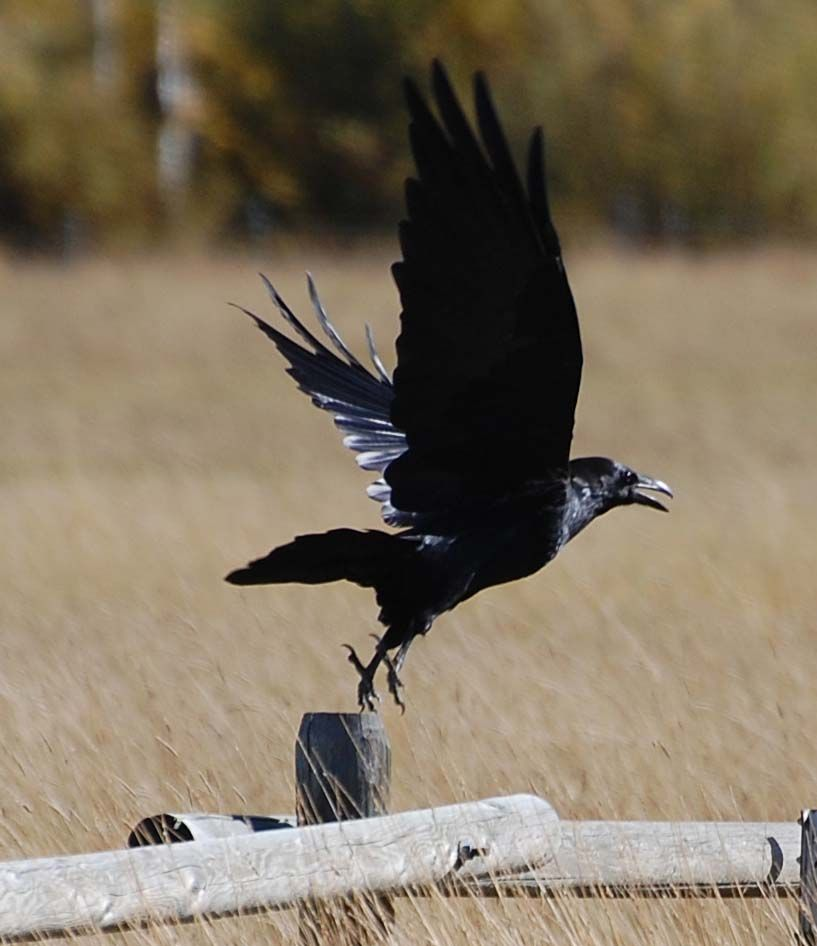 Crows and Ravens | ... many legends about crows and ravens as both creators andtricksters