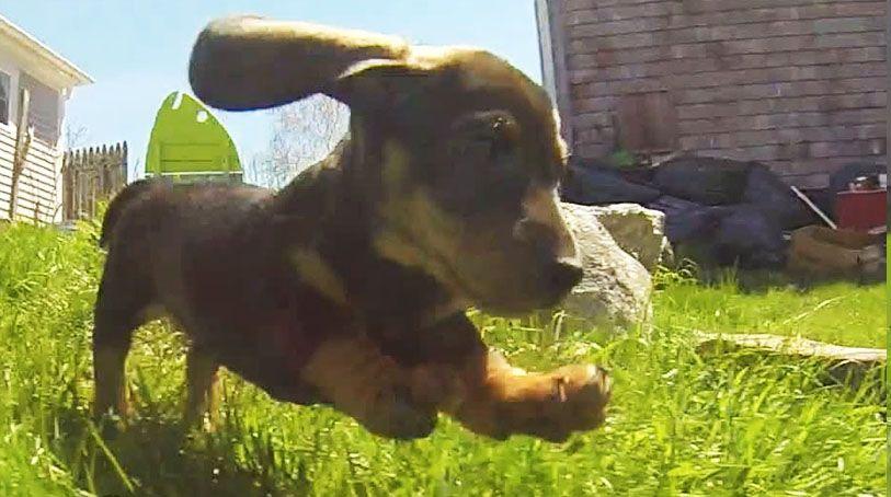 Four Adorable Dachshund Puppies Chase Gopro Camera Around Yard