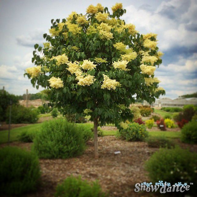 Snowdance Japanese Tree Lilacs Are In Full Bloom What An Incredible Scent And Beautiful Shape And They Are Hardy To Japanese Tree Lilac Tree Flowering Trees