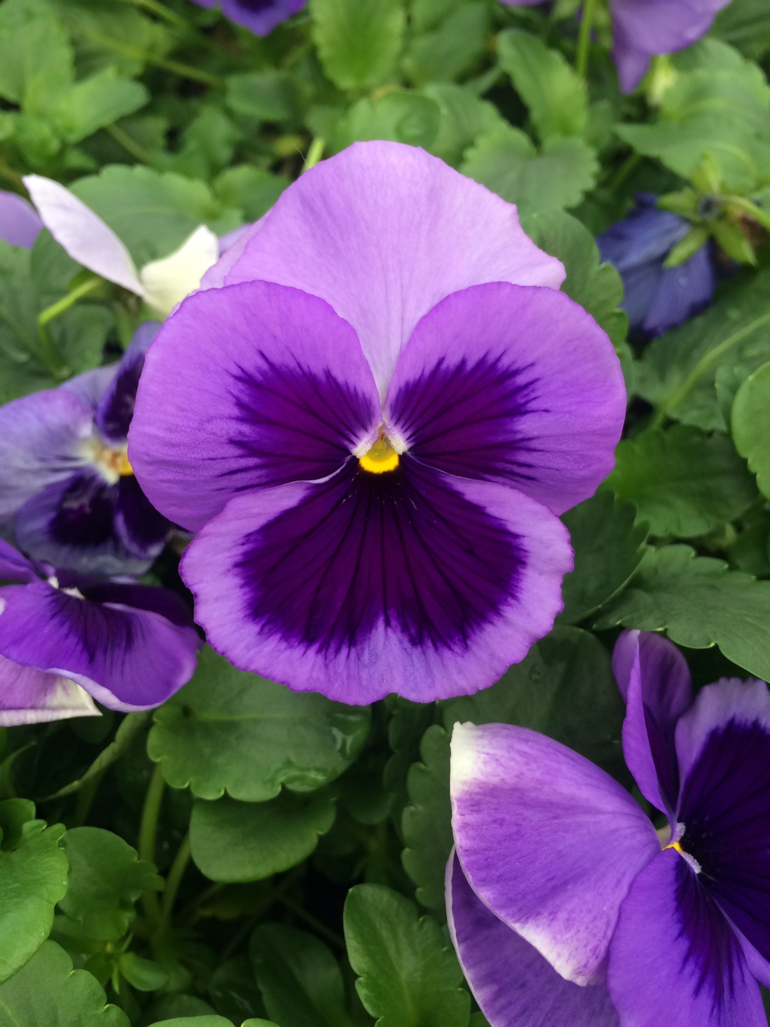Pansy Flower Purple Pansies Flowers Growing Flowers Flowers