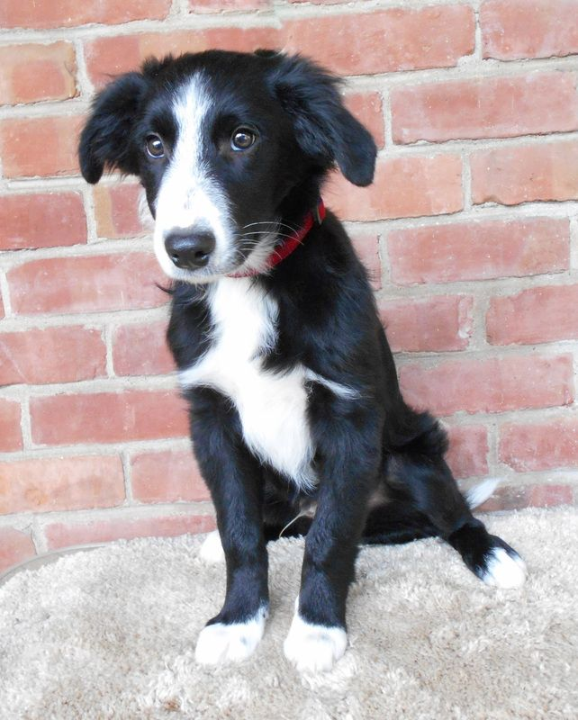 Polo Border Collie Rescue Of Northern California With Images Collie Rescue Border Collie Rescue Border Collie