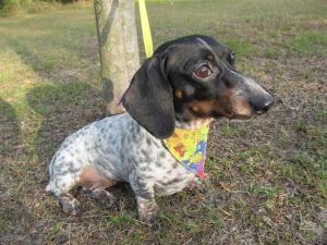Adopt Bess On Weenie Dogs Dachshund Love Dachshund Dog