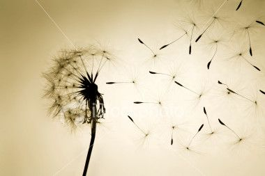 """To go along with my poem """"Kicking Dandelions"""""""