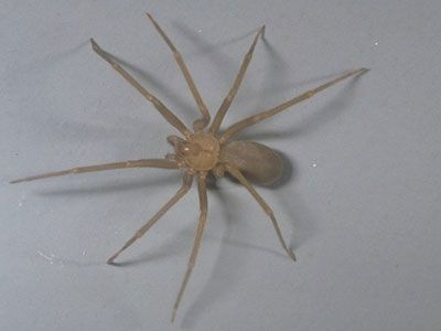 brown spiders in ky