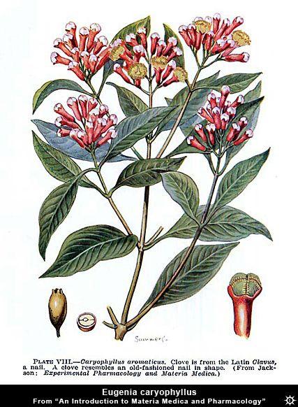 Eugenia Caryophyllus Botanical Drawing Erowid Herb Vaults Images Botanical Drawings Botanical Illustration Botanical Art