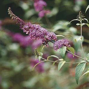 Trimming Butterfly Bushes Butterfly Bush Butterfly Bush Care Bush Plant