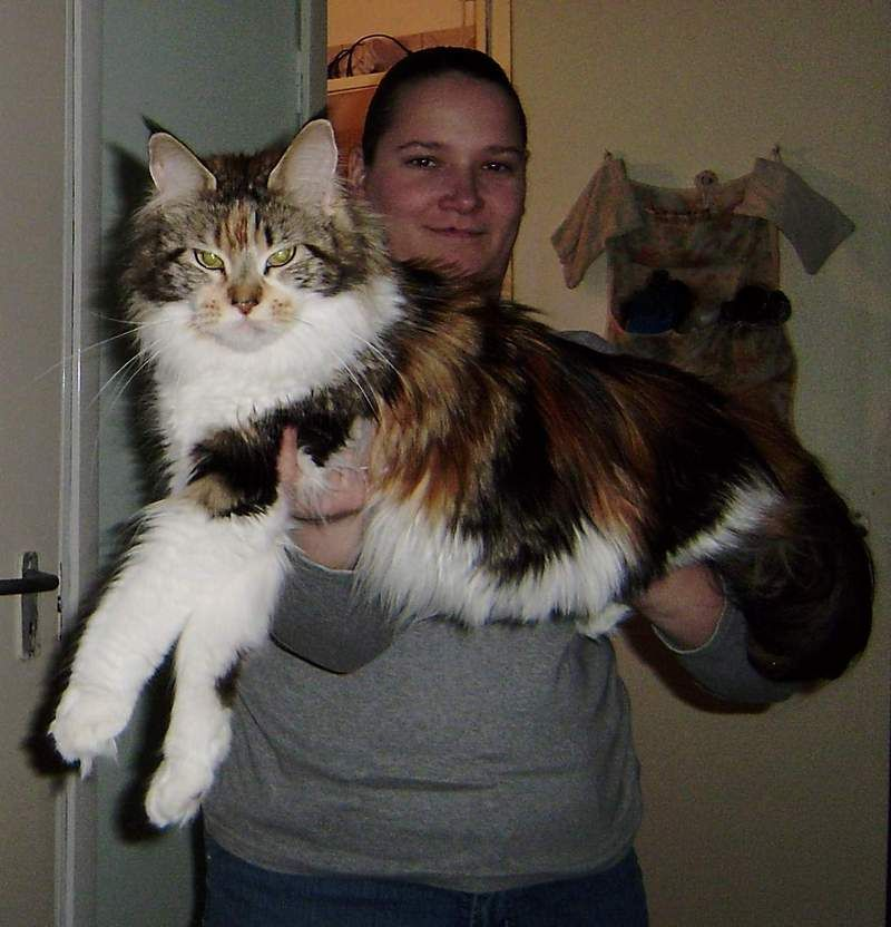 giant maine coon cat angora cat animal online maine coon cats pinterest angora cats. Black Bedroom Furniture Sets. Home Design Ideas