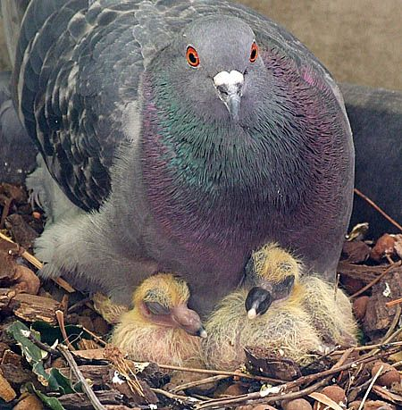 About Mommy and Daddy Pigeon and Baby Pigeons (2-4 days ...