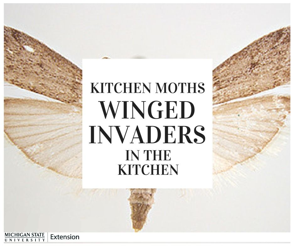 """I have little, tan moths flying aimlessly around my kitchen. How could they be coming in my house now when it is snowing, and what are they doing?"" If this is a question that you find yourself asking, we have an answer for you!"