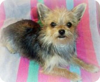 Chihuahua/Yorkie, Yorkshire Terrier Mix Dog for adoption