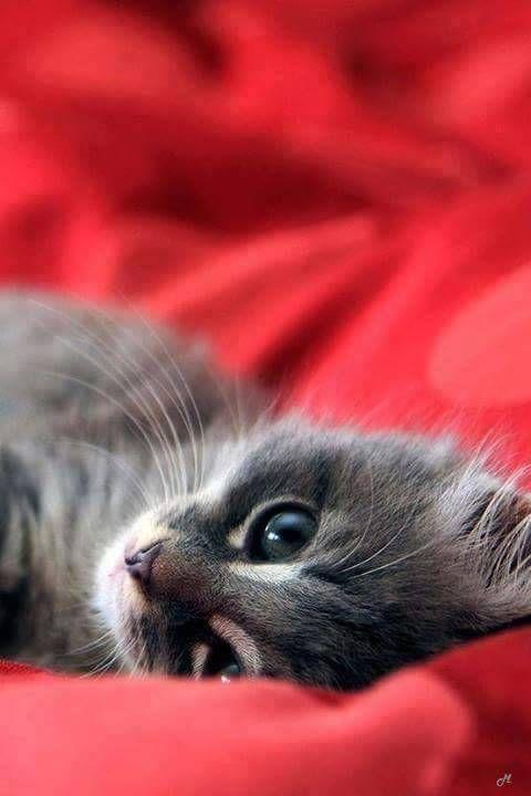 wallpaper kitten look lying mugs gray