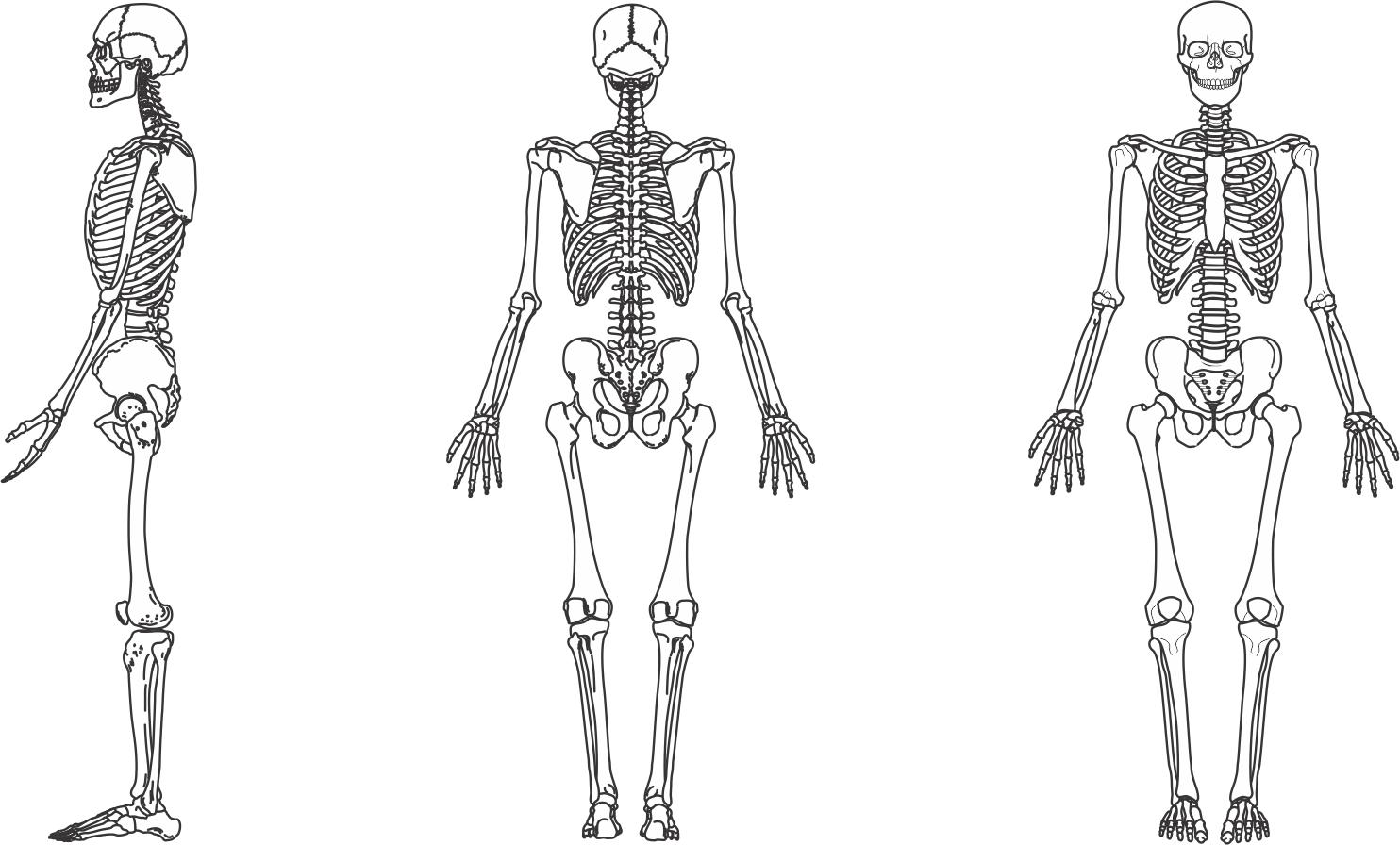 Resultado de imagem para esqueleto humano corpo desenho | body ...