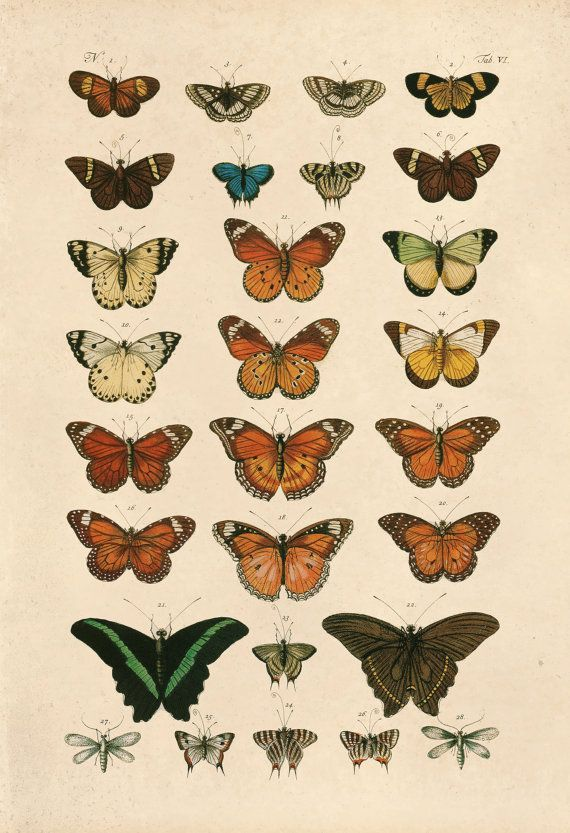 Photo of VINTAGE BUTTERFLY PRINT- High Quality Reproduction – Old Nature Print Butterfly …