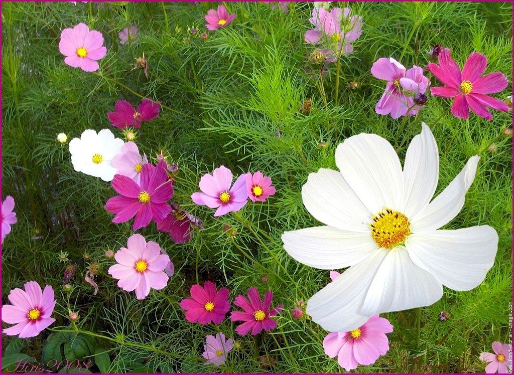 Cosmos Zone 3 10 Flora Flowers Flowers Plants