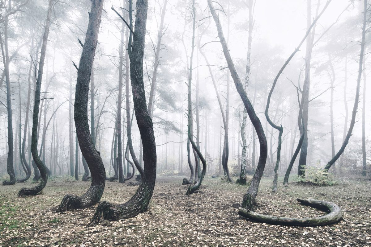 The Crooked Forest A Mysterious Grove Of 400 Oddly Bent Pine Trees In Poland Crooked Forest Crooked Tree Tree Forest,Best Paint For Bathroom Ceiling To Prevent Mold Australia