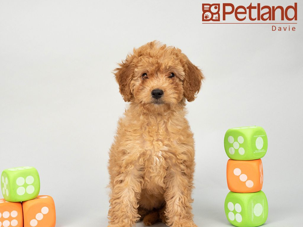 Petland Florida has Cavapoo puppies for sale! Interested