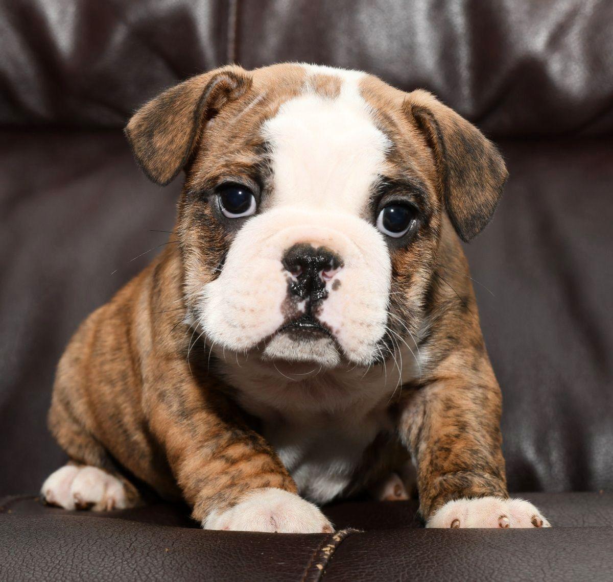Adorable Beabull Lancaster Puppies Dog Breeder
