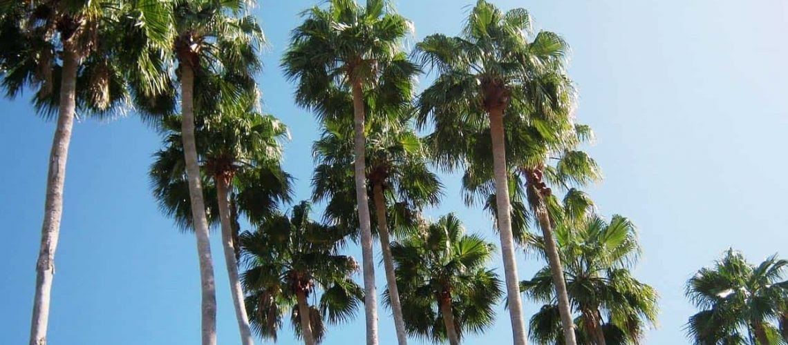 See more ideas about palm tree pictures palm trees and ...