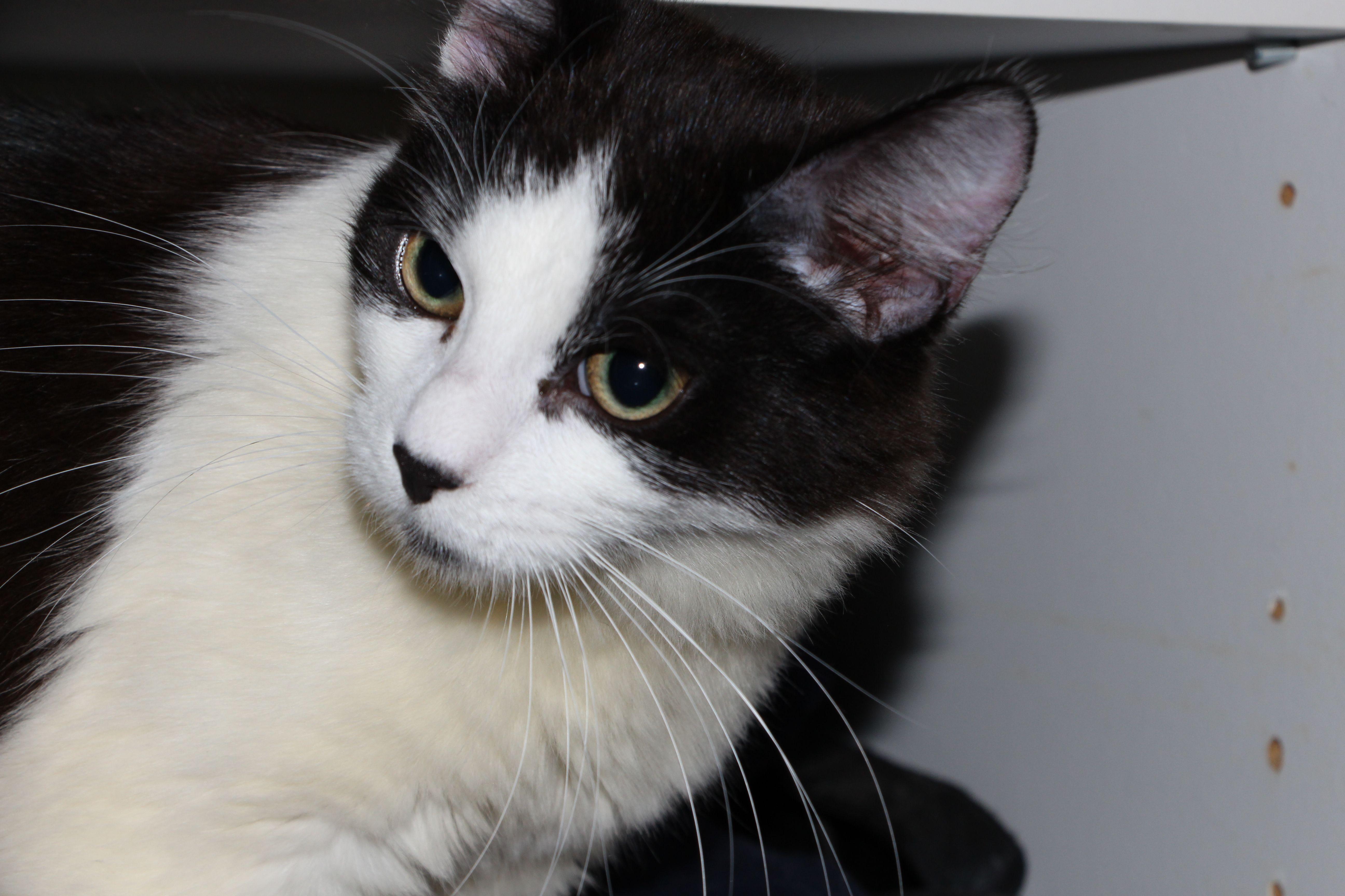 Raichu Cat | Pawshake Gold coast | Pawshake Australia Cats ...