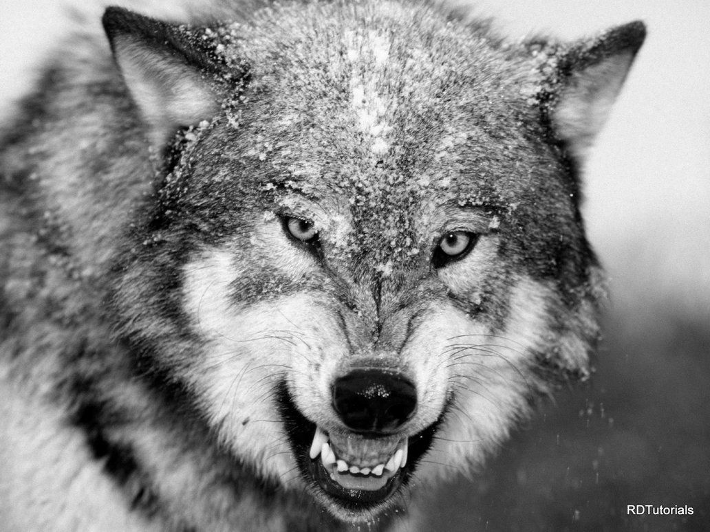 Black And White Wolf black and white wolf pictures - desktop ... for Angry Wolf Black And White  587fsj