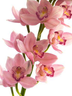 Cymbidium Orchid Flowers Cold Porcelain Flowers Cymbidium Orchids Polymer Clay Flowers