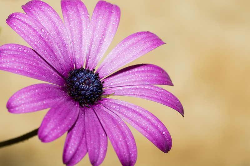 Púrpura en fondo ocre