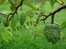 How To Grow A Sugar Apple Tree Ehow Cherimoya Fruit Plants Fruit Trees