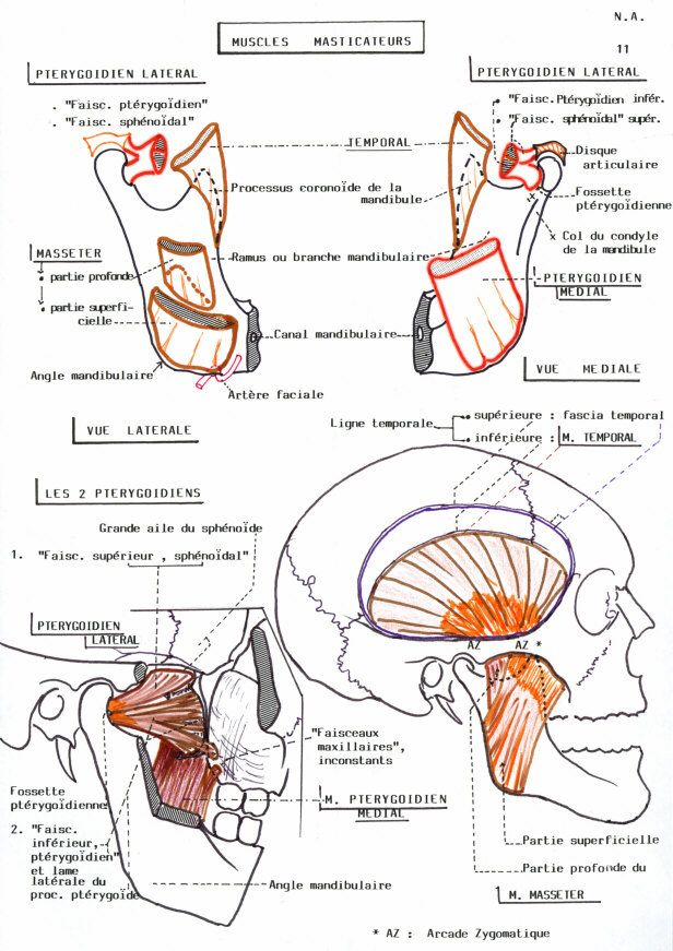 Masseter Muscles - Health, Medicine and Anatomy Reference Pictures ...