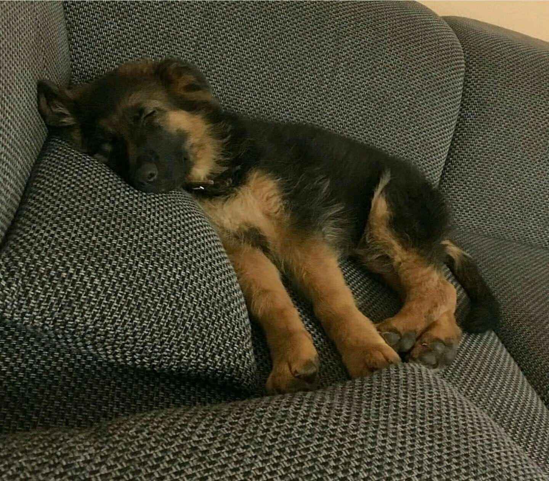 Wake Up Sleeping Head German Shepherd Pup Too Cute