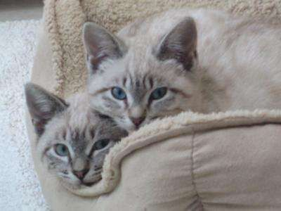Lynx Point Siamese Kittens Siamese Kittens Balinese Cat Pretty