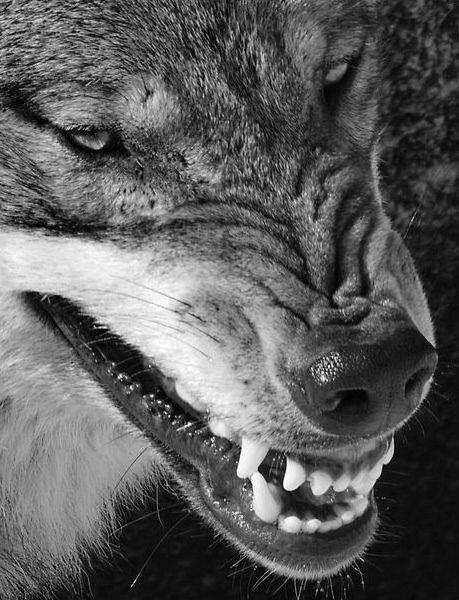 Loups