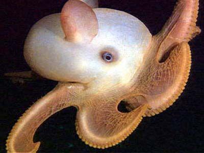 Cirrate Octopodes