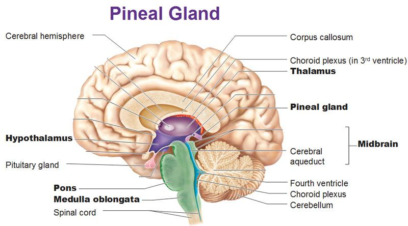 PINeal gland   Pin Things   Pituitary gland, Pineal gland