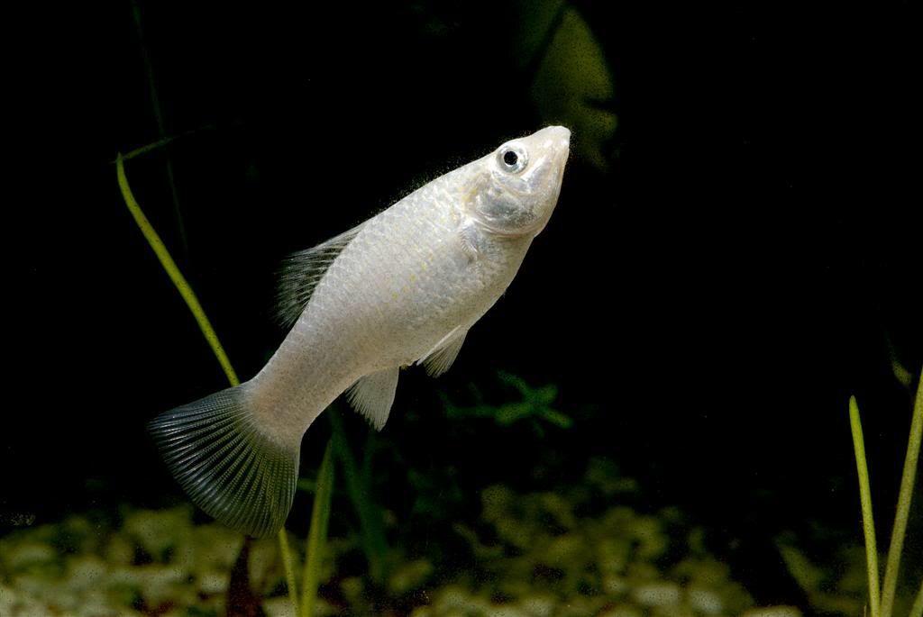 Silver Molly Molly Fish Fish Tropical Freshwater Fish