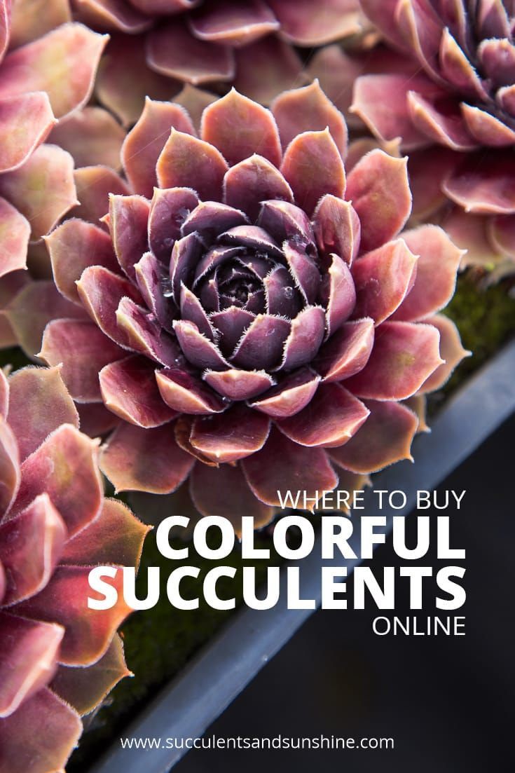 So Many Great Resources For Ing Colorful Succulents Online