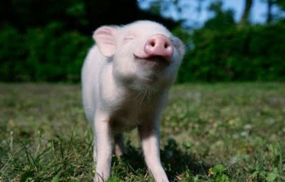 Image result for happy piglet
